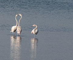 Flamingo Dansı