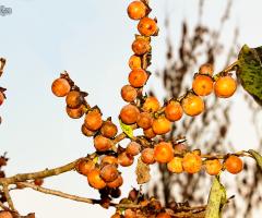 Küçük Meyveli Trabzon Hurması