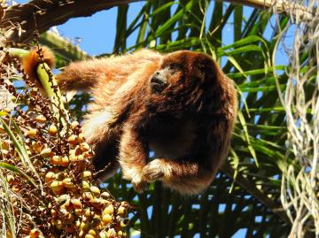 Howler monkey eating coconut