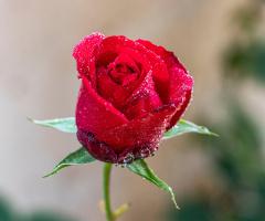 Gül Çiçeği