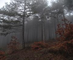 Orman ve Sis