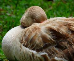Sleeping Goose