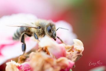 Bee on my terrace