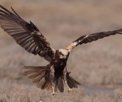 Saz delicesi » Western Marsh Harrier » Circus aeru