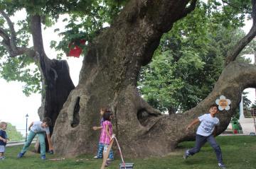Tarihi Çınar Ağacı (720 yaşında) - Doğu Çınarı