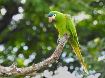 Red-shouldered Macaw (endangered species)
