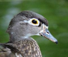 Mandarin Duck Female