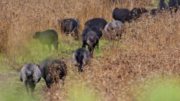 Sheep's of Sardinia