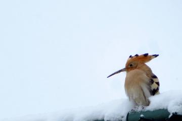 İbibik Kuşu