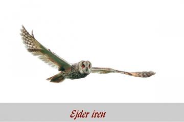 Kulaklı Orman baykuşu-1
