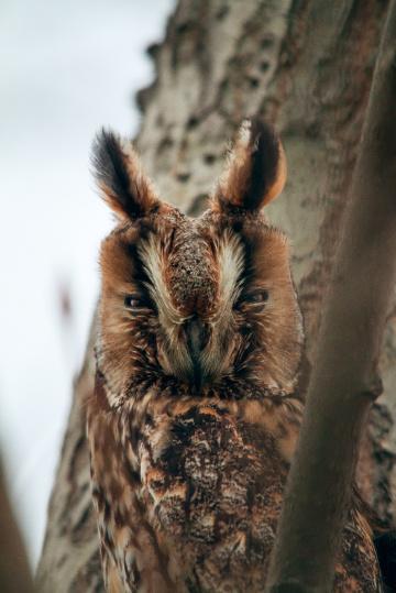 Yavru Orman Baykuşu
