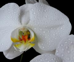 Wanda orquídea