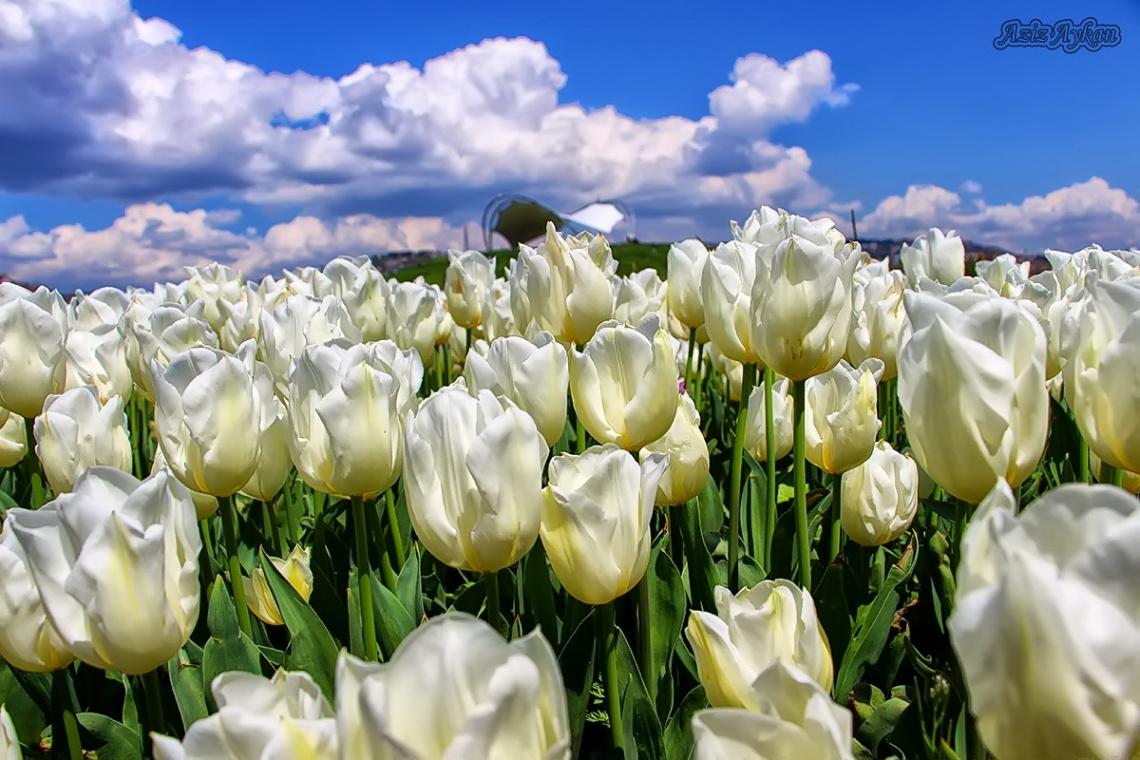 Sana Beyaz Laleler Aldım Çiçek Pazarından