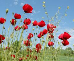 Gelincikler-Poppies