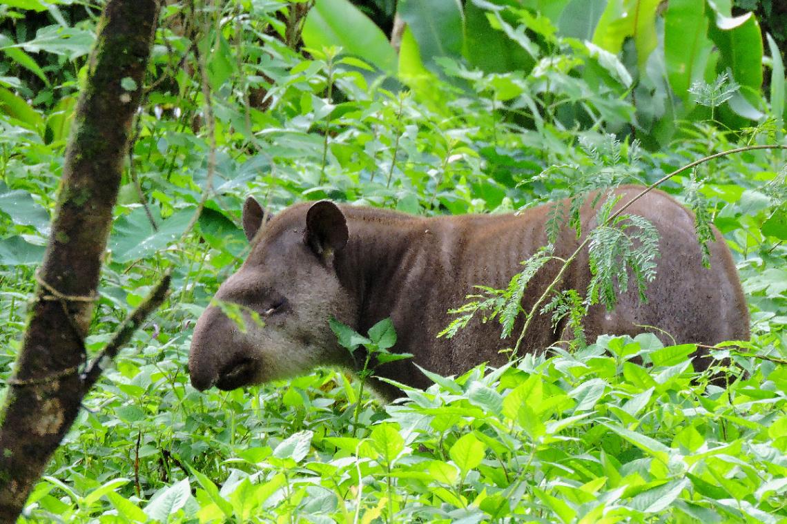 Anta (Tapirus terrestris)