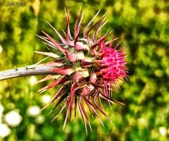 Dikeni Sert Olanın Çiçeği Güzel Olur Derler
