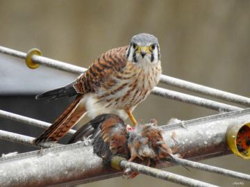 Quiriquiri Falco