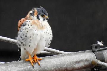 Falco on a television antenna