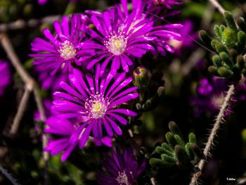 Buz Çiçekleri