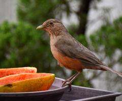 Sabiá-laranjeira