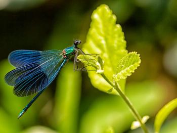 Kız Böceği