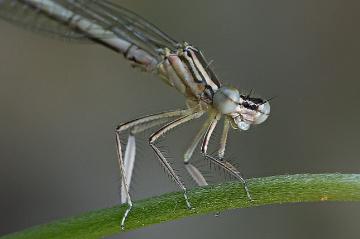 Kız Böceği ( Detay )
