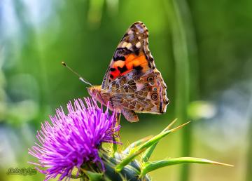 Kelebek Ve Doğa.