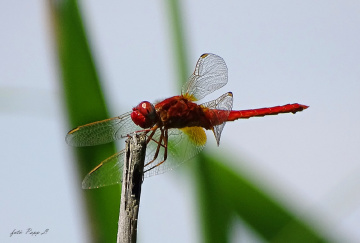Red dragonfly.