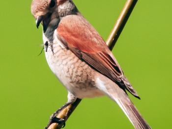 Dişi Kızıl sırtlı örümcek kuşu