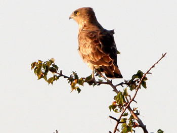 Yılan Kartalı Snake Eagle