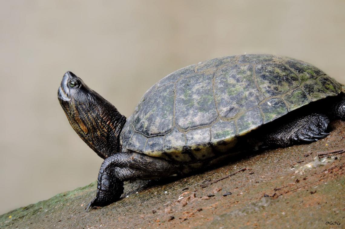 Tartaruga aquática