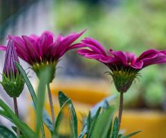 Gazanya Çiçekleri