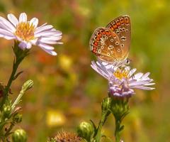 Kelebek - Çokgözlü