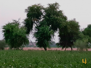 Cotton field & whispering trees