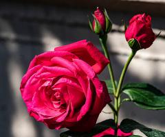 Güz Gülleri