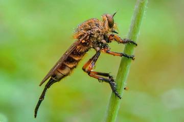 robber fly dan embun pagi