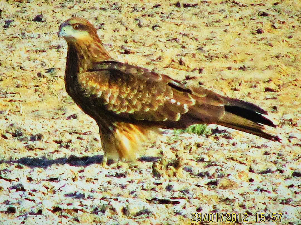 Raptor of our area