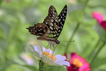 kupu kupu dan bunga putih