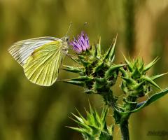 Kelebek Gibidir Aşk Peşinden Koştukça Senden Kaçar