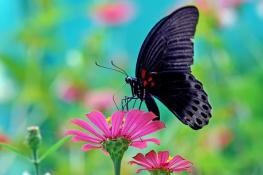 butterfly hitam