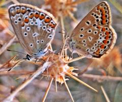 Kelebek İkilisi