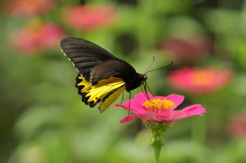 kupu di taman bunga