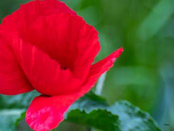 Gelincik Çiçeği