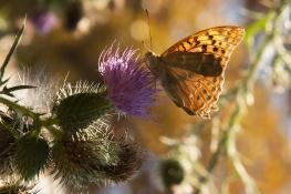 Bahadır Kelebek (1)