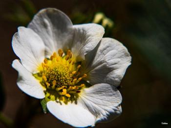 Çilek Çiçeği