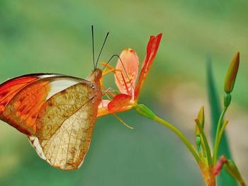 kupu cantik