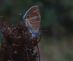 Sevbeni Kelebeği