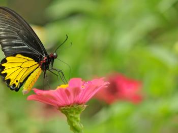 kupu kupu diatas bunga