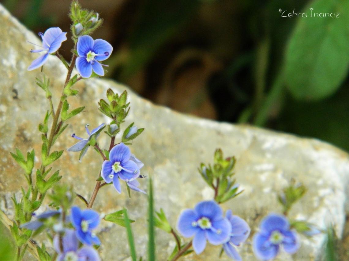 Mavi Mine Çiçeği