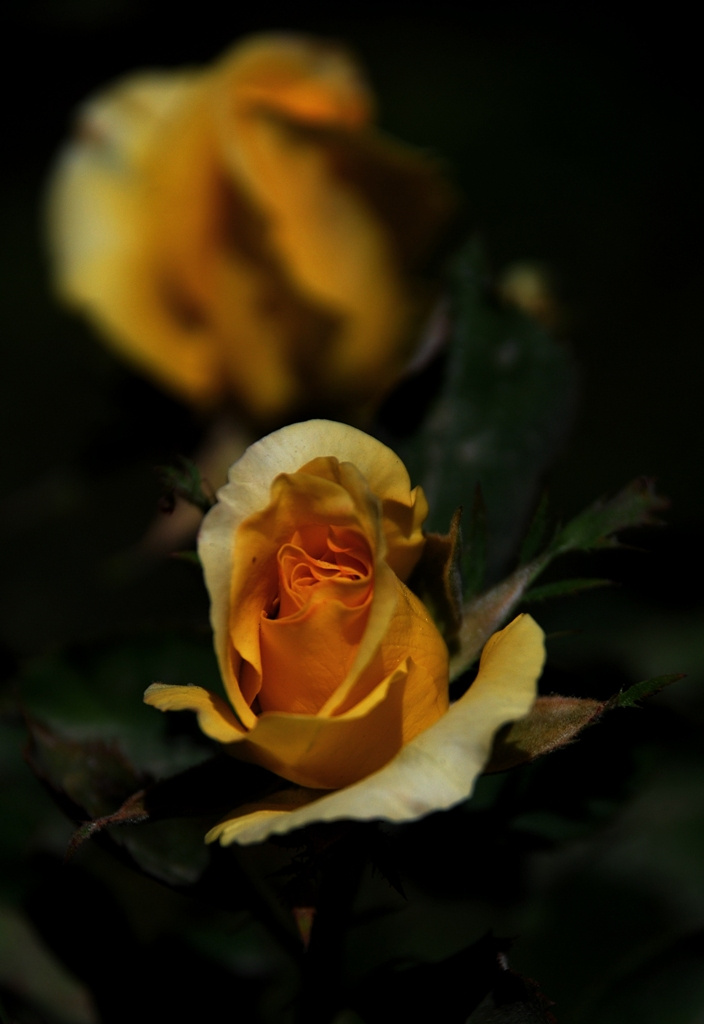 Sarı gül / Yellow rose